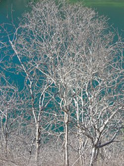 画像3: パロサント(聖なる樹)3ml・精油
