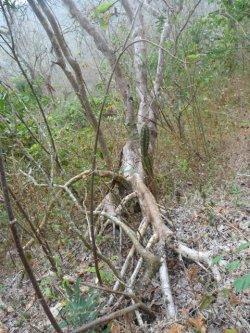 画像2: パロサント(聖なる樹)3ml・精油