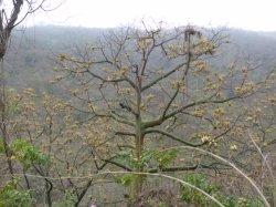 画像1: パロサント(聖なる樹)3ml・精油
