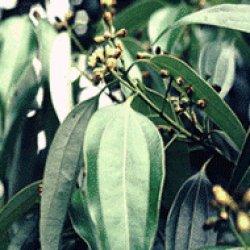 画像1: スガンダコキラ(クスノキ)5ml・精油